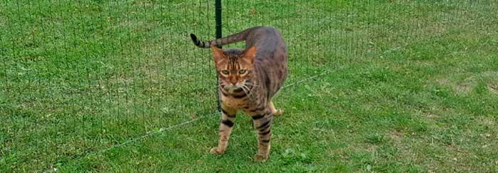 Chat bengal sortant en extérieur avec un enclos pour chat