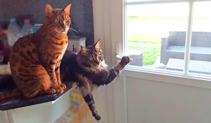 Quand les chats veulent sortir en extérieur