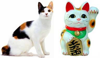 comparaison chat bobtail japonais tricolore et maneki-neko