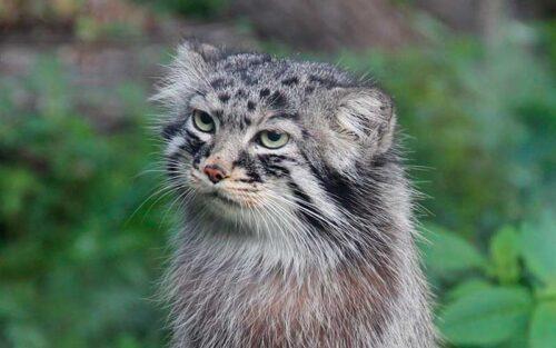 Le chat de Pallas, un drôle de chat sauvage