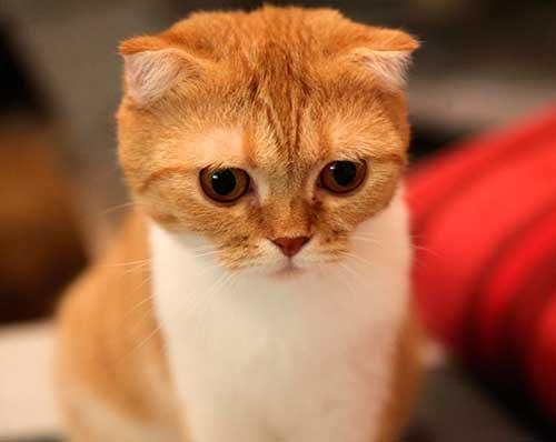 Scottish Fold, race de chat préférée des japonais