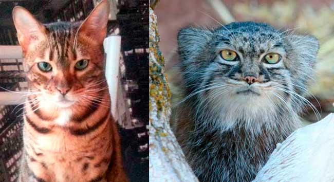 Comparaison entre chat domestique et chat de Pallas