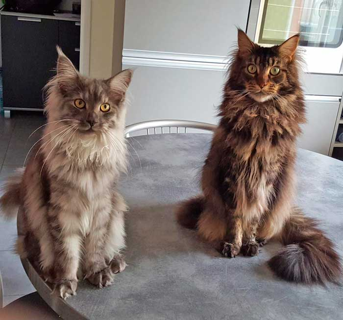 Chats Maine Coons