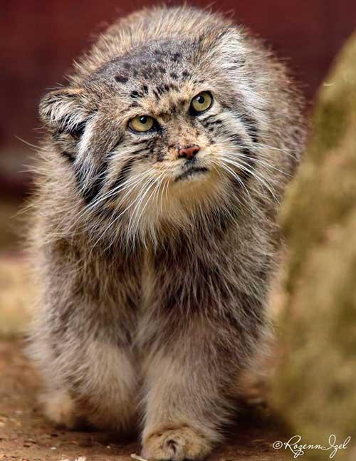 Chat de Pallas, photographié par Rozenn Izel à la ménagerie du Jardin des plantes