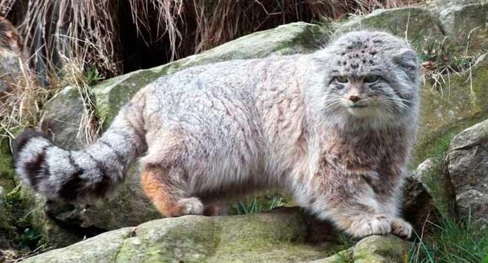 Morphologie du chat de Pallas