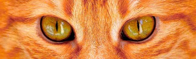 Les pupilles en forme de fente des chats domestiques