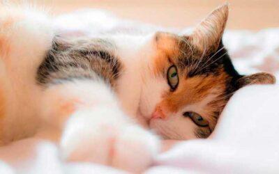 Le ronronnement du chat, tout ce que vous ne savez pas encore