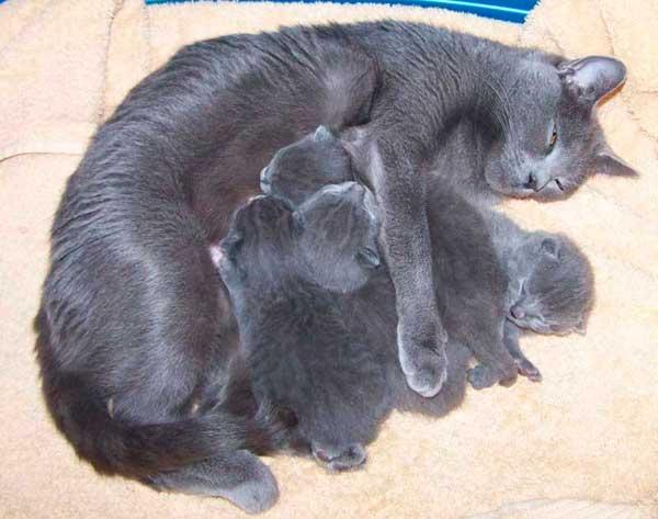 Le ronronnement dans une portée de chatons