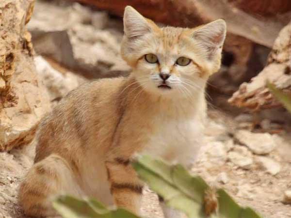 Chat des sables, tout savoir sur ce petit chat sauvage mystérieux