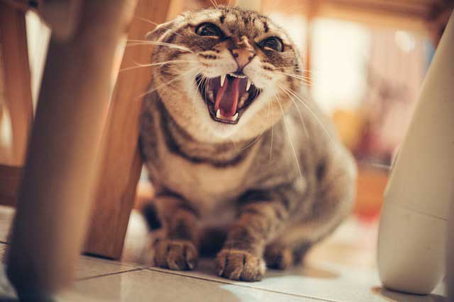 Chat stressé et herbes à chat