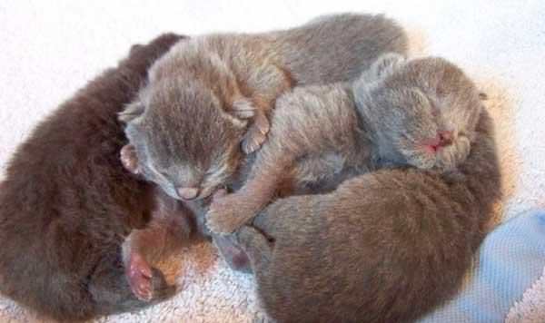 Les chatons sont sourds à la naissance