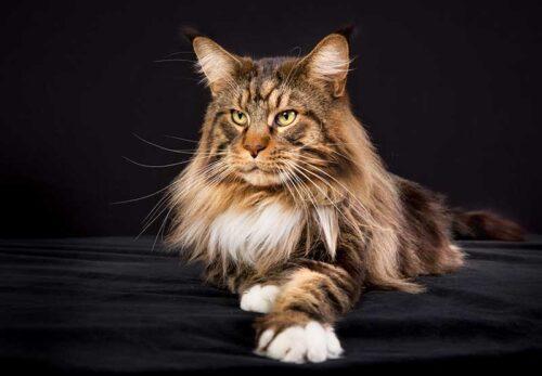 Le chat Maine Coon, toute son histoire et ses secrets