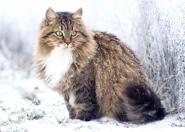 Chat sibérien, top 10 des races de chats préférées