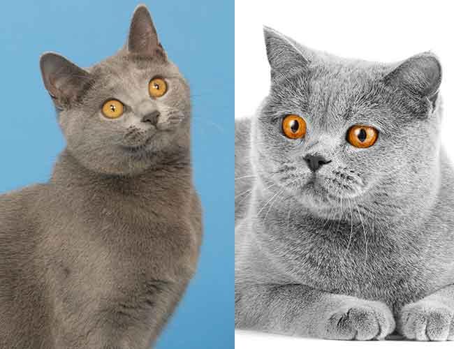 Comparaison entre un chat chartreux et un british shorthair bleu