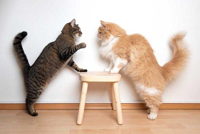 Conseils pour adopter un deuxième chat