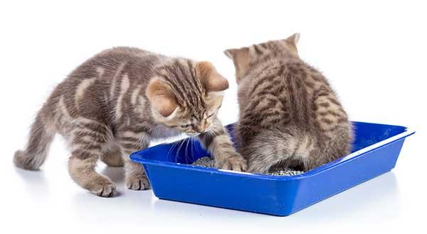 chatons, apprentissage de la propreté dans le bac à litière