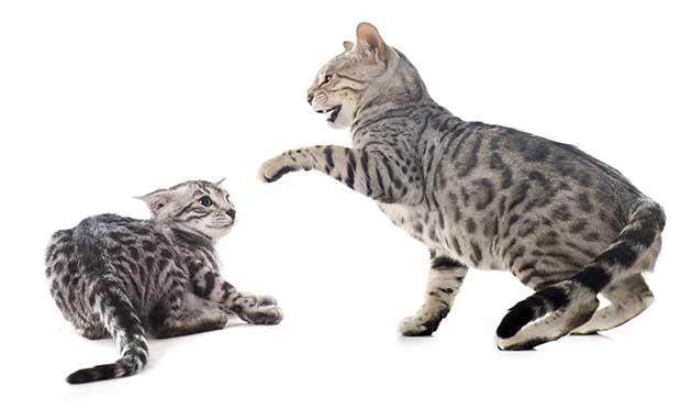 Que faire quand ses deux chats se bagarrent ?