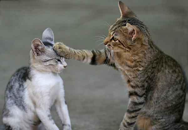 cohabitation entre plusieurs chats, problème de pipi hors litière