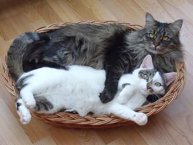 Deux chats amis qui dorment ensemble