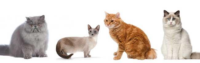 Diversité des races de chat