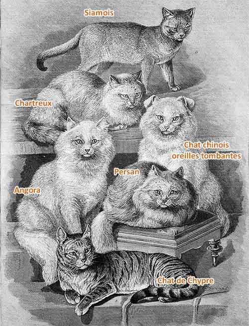 1897, Les 6 races de chat selon Bungartz