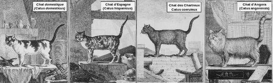Classification des races de chat selon Linné au 18ème sièche
