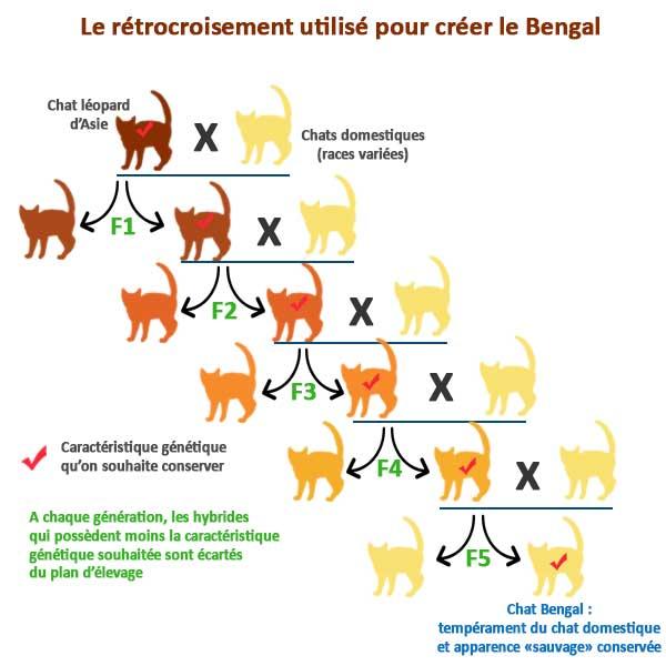 Création de la race Bengal par hybridation et rétrocroisement génétique