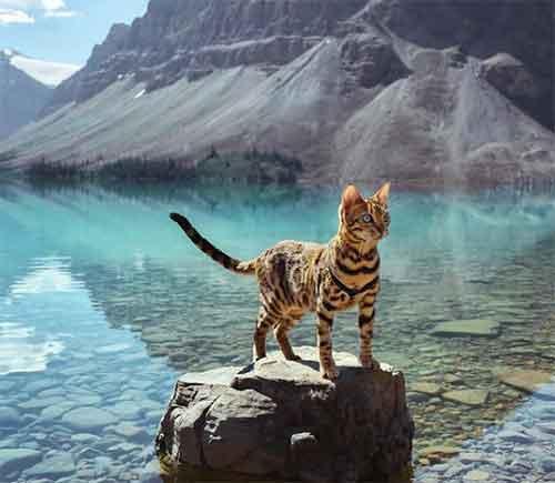 Le chat Bengal le plus connu d'Instagram, Suki