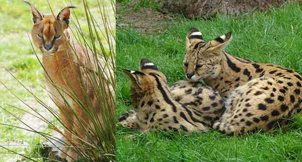Caracal et serval, 2 espèces de chats sauvages