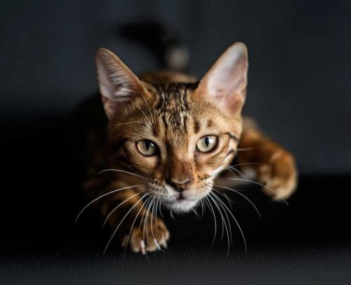 Caractère du chat Bengal : est-il dangereux pour les enfants ?