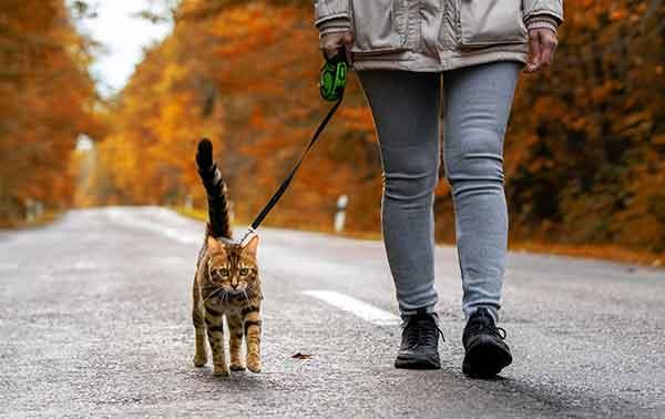 Chat bengal se promenant avec un harnais