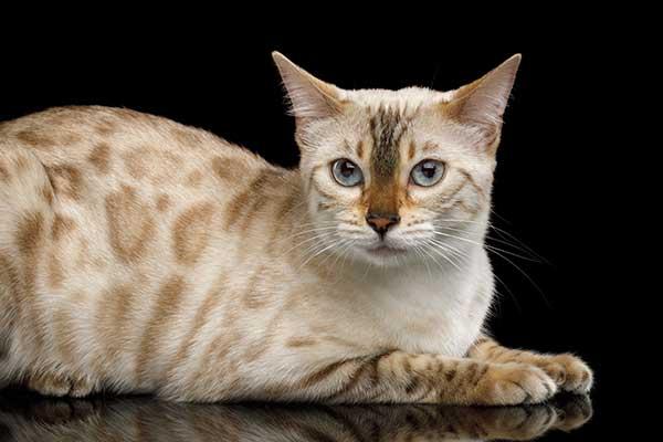 Chat Bengal à la robe snow (fond très clair)
