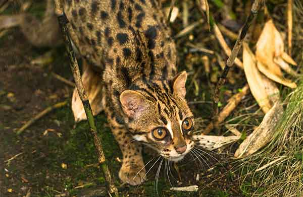 Chat léopard d'Asie (Prionailurus bengalensis)